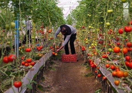 ۱۰۰ هزار تُن محصولات گلخانهای اصفهان به خارج  کشور صادر می شود