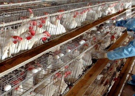 هشدار دامپزشکی خراسان رضوی نسبت به شیوع آنفلوآنزای پرندگان