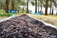 پتانسیل و تمایز پنهان صادرات خرما از خوزستان
