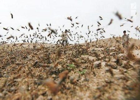 هشدار به کشاورزان هرمزگانی برای هجوم ملخ صحرایی