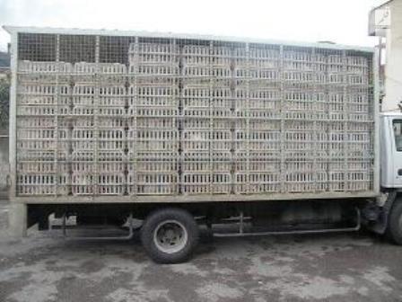 کشف یک هزار و ۵۰۰ قطعه مرغ زنده قاچاق در میناب