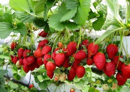 هزینههای بالا و نبود صنایع تبدیلی گریبانگیر توت فرنگی کاران کردستانی