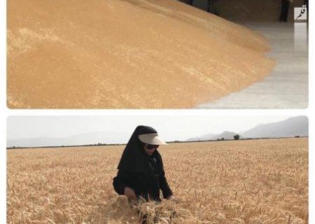 مرحله خرید بذر گندم از مزارع تحت نظارت واحد استانی تحقیقات ثبت و گواهی بذر و نهال به اتمام رسید
