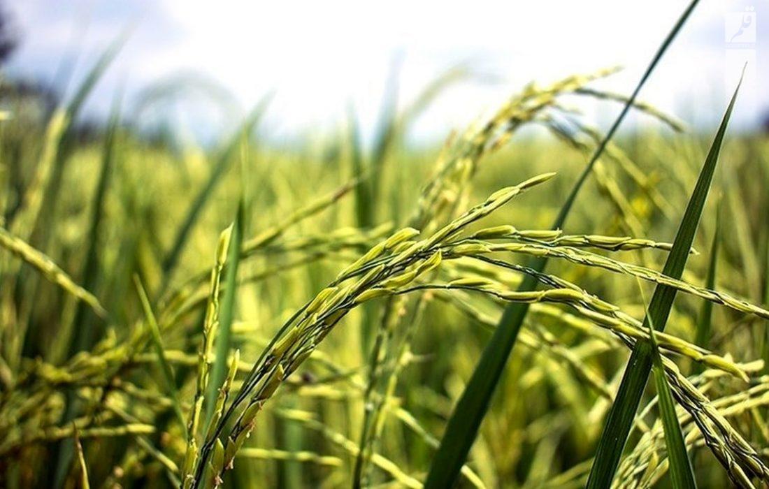 ممنوعیت کشت دوم محصولات کشاورزی در شهرستان همدان