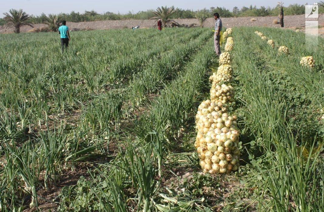 پیش بینی برداشت ۷۶ هزار تن پیاز از مزارع اقلید