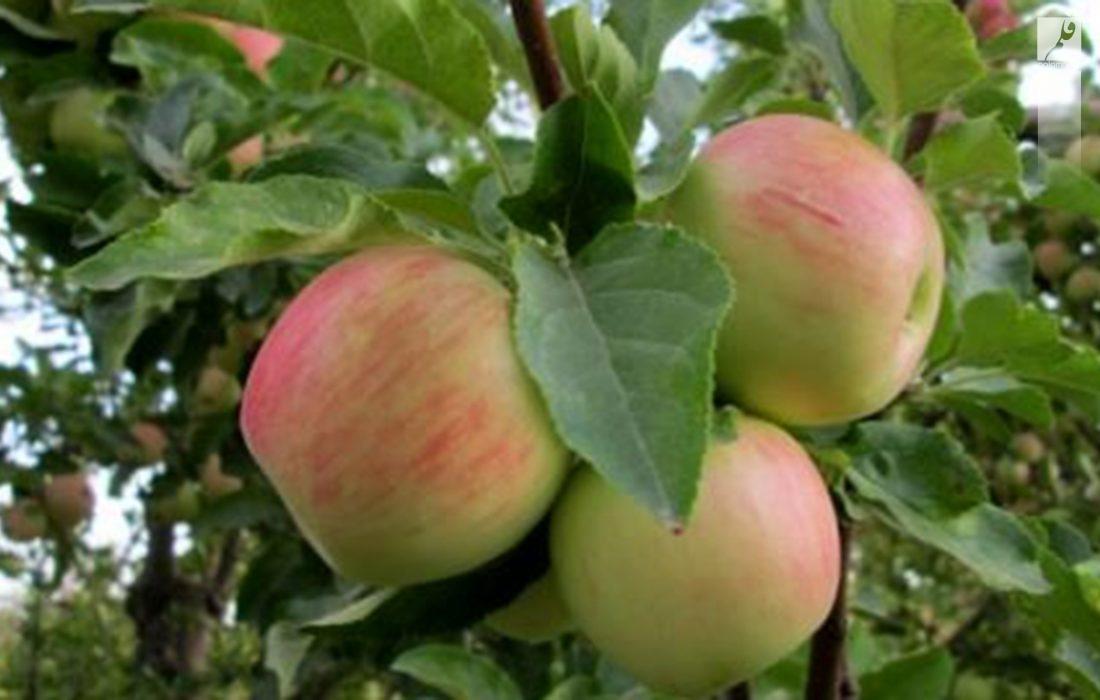 برداشت ارقام جدید سیب تابستانه در کامفیروز