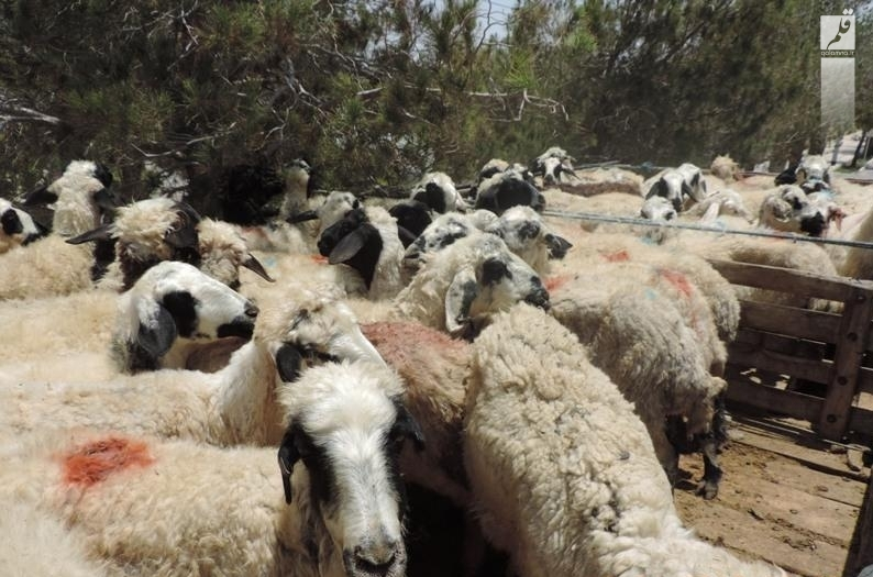 توزیع گوشت قرمز بین نیازمندان بختگان