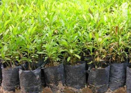 آماده سازی نهالستان برای کاشت بذر حرا در قشم
