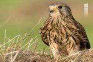 دستگیری متخلفان زنده گیری پرندگان شکاری در خرامه
